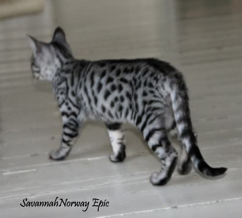SavannahNorway Epic Silver spotted Savannah cat Photo: Camilla Hesby Johnsen